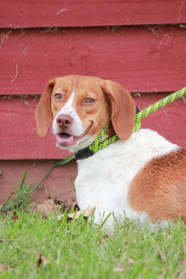 Adopt Daisy On Super Cute Puppies Adoptable Beagle Beagle Dog