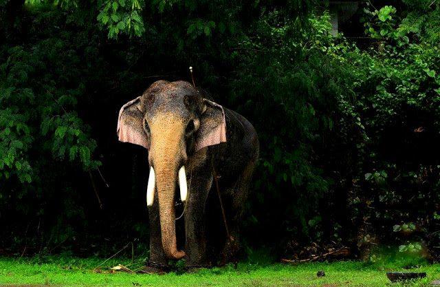 Thechikottukavu Ramachandran hd photos | Elephant images ...