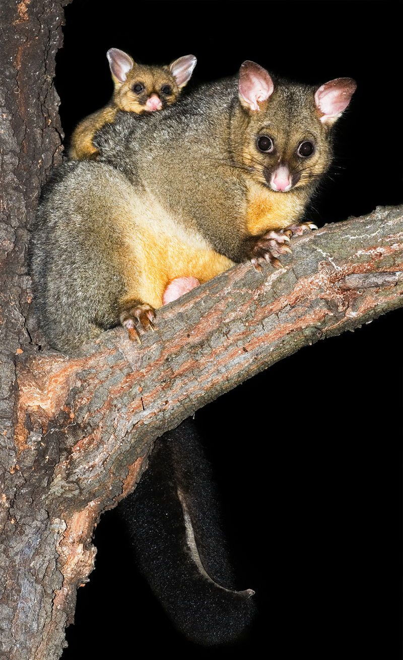 Bright Eyed Beauty Blog Review And Swatches Lime Crime: A Bright-eyed Baby Common Brushtail Possum In Australia