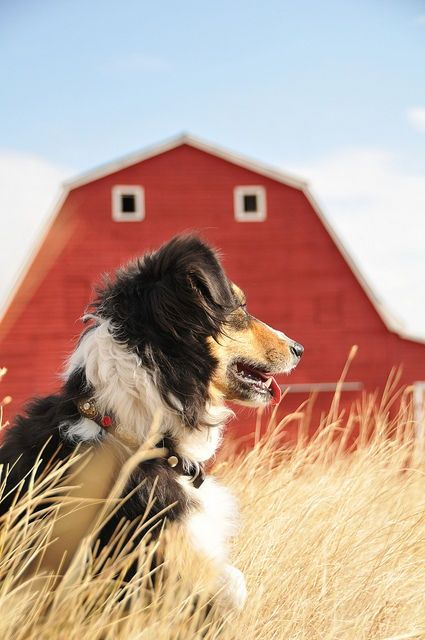 What's prettier than a farm dog looking over the horizon? So sweet! You can only imagine what he must be thinking about. www.RadioFence.com Pet Products