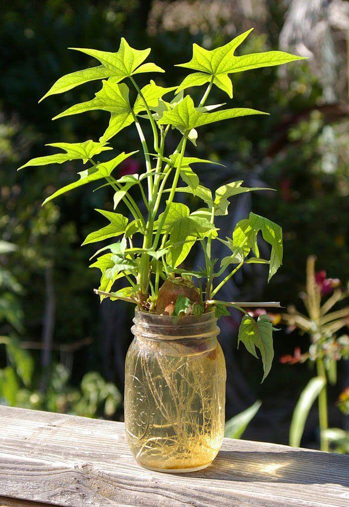 Nektarine Im Garten: Nektarinenbaum Selber Ziehen PflegeAnleitung Der T