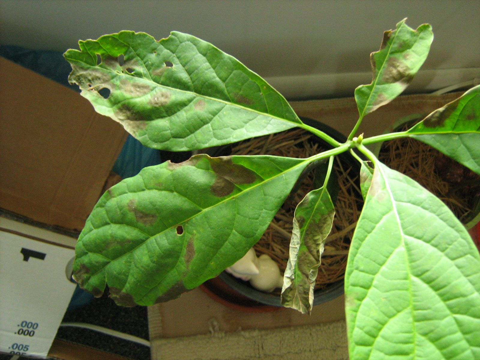 Avocado Tree Brown Spots On Leaves Make Sure To Visit