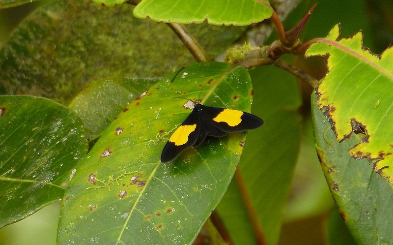 Tiger moth(Crocomela regia) photographed by Andreas Kay in Ecuador on 27th May 2014