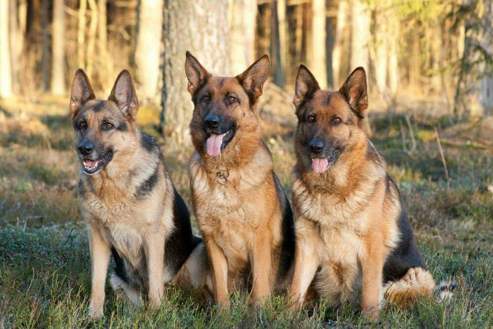 alsatian brave german shepherds puppies puppys sheep dogs german shepherd dogs cubs doggies