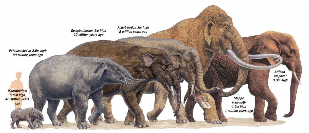 extinct elephant species Google Search Млекопитающие