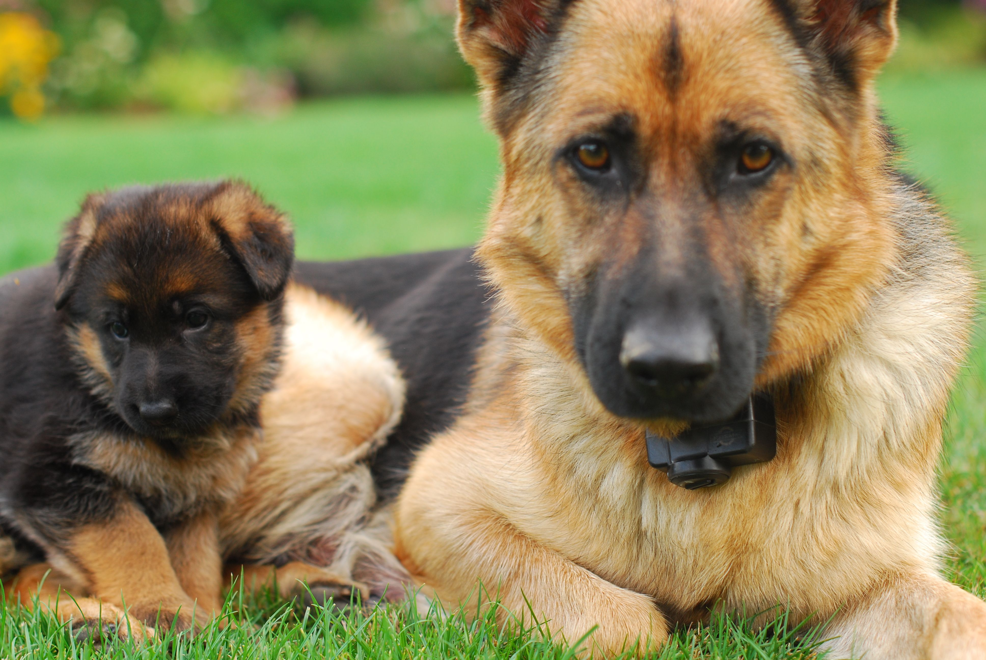 Cute Kitten And Puppy Cute German Shepherd Puppies German Shepherd Puppies Shepherd Puppies
