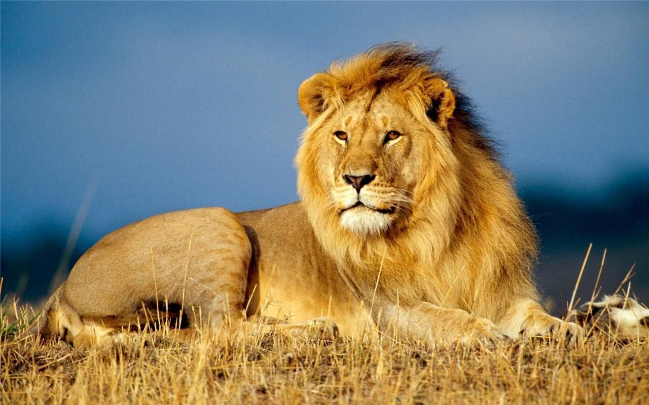Beautiful Lion Glossy Poster Picture Photo Print King Of The Jungle