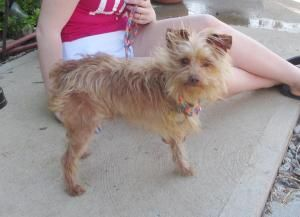 Adopt Remi On Yorkie Dogs Yorkshire Terrier Pet Life
