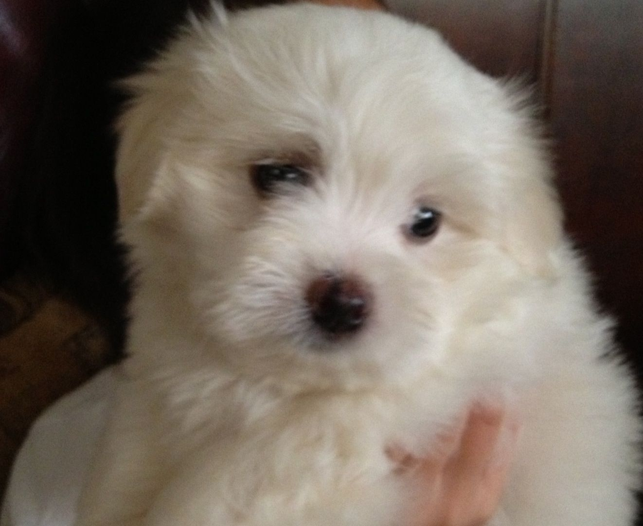 Pono An 8 Week Old Maltese Puppy From Mililani Oahu Dogs