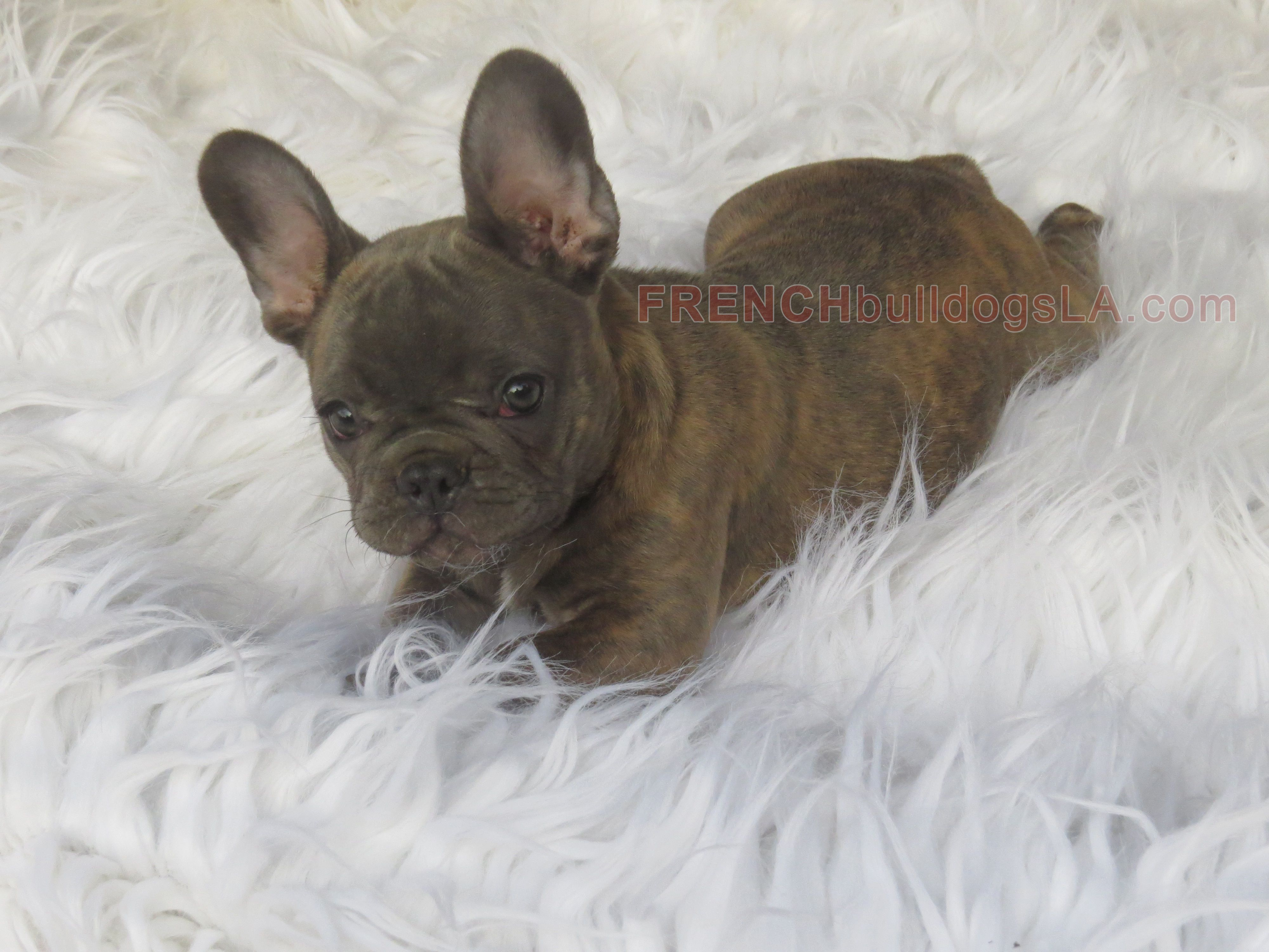 blue frenchie. i'm in love! Miniature french bulldog