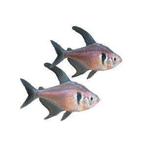 Black Phantom Tetra Live Fish Petsmart Live Fish Petsmart Fish