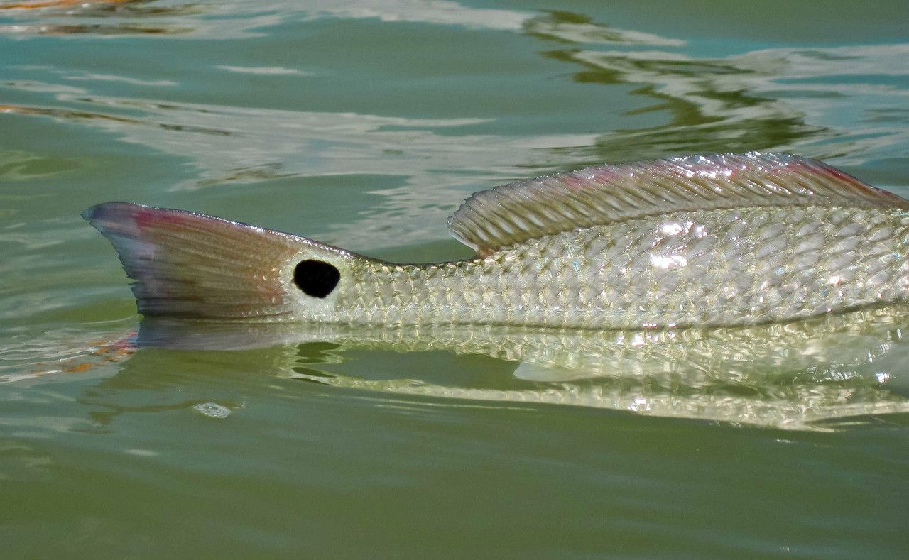 Tailing redfish fly fishing the texas coast terry for Fly fishing redfish