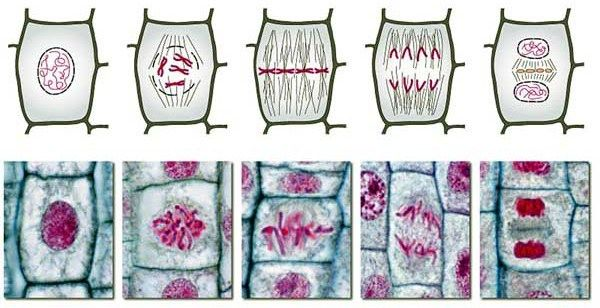 mitosis1.jpg (600×308) | Mitosis, Cell division, Plant cell