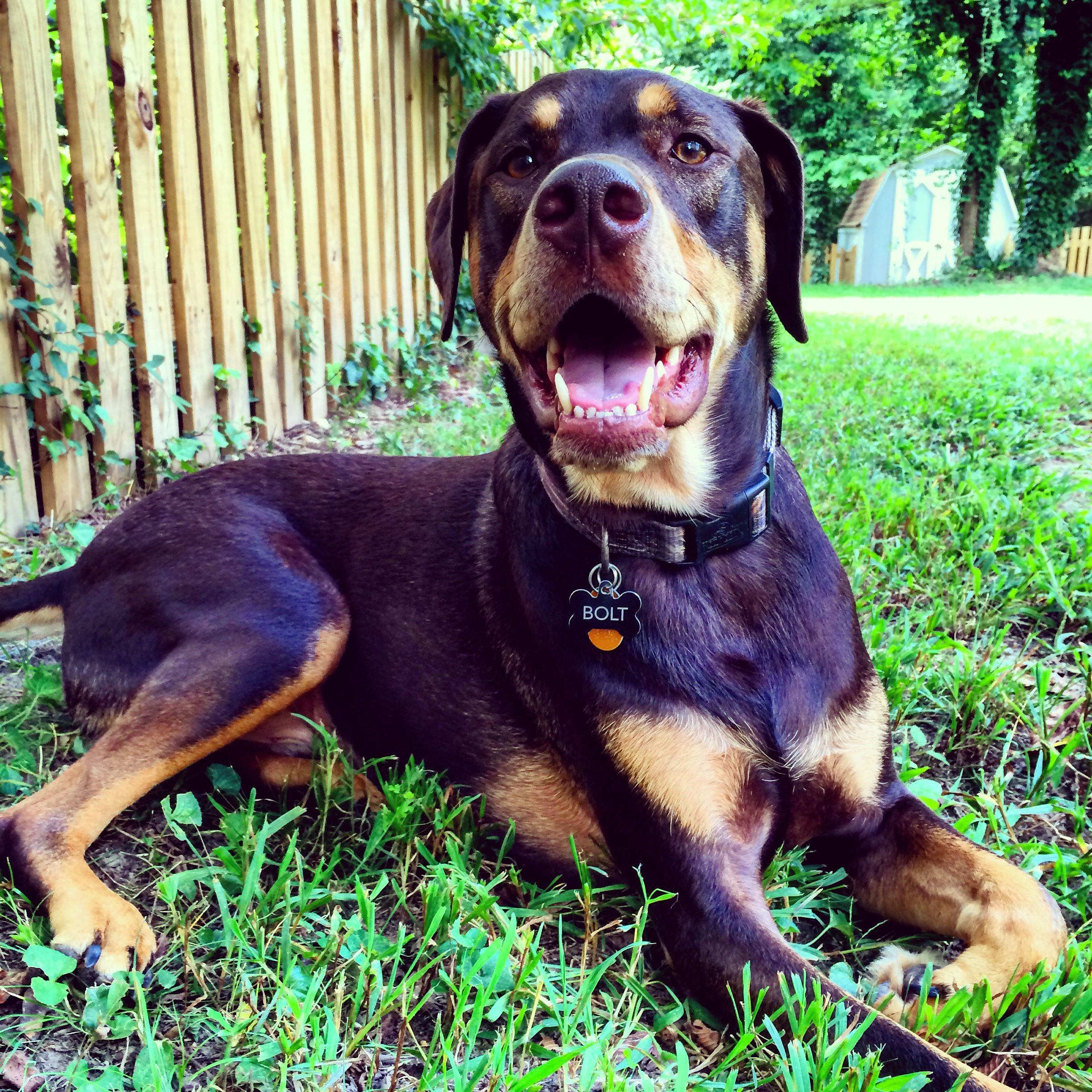 Doberdor The Perfect Mix Between Doberman And Labrador