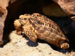 Afbeeldingsresultaat voor landschildpadden