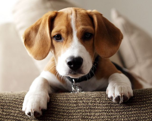 Best Puppy In The World Beagle Puppy Beagle Dog Puppies