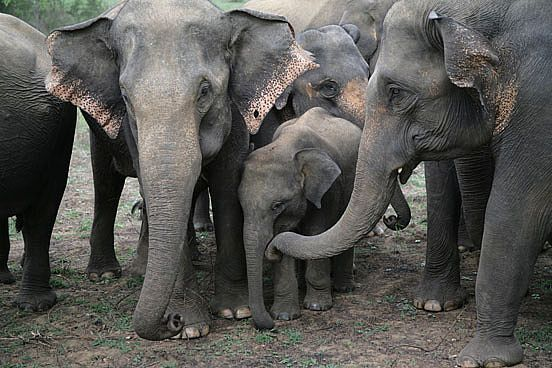 Asian Elephant | Elephant spirit »asian-elephants-08_1