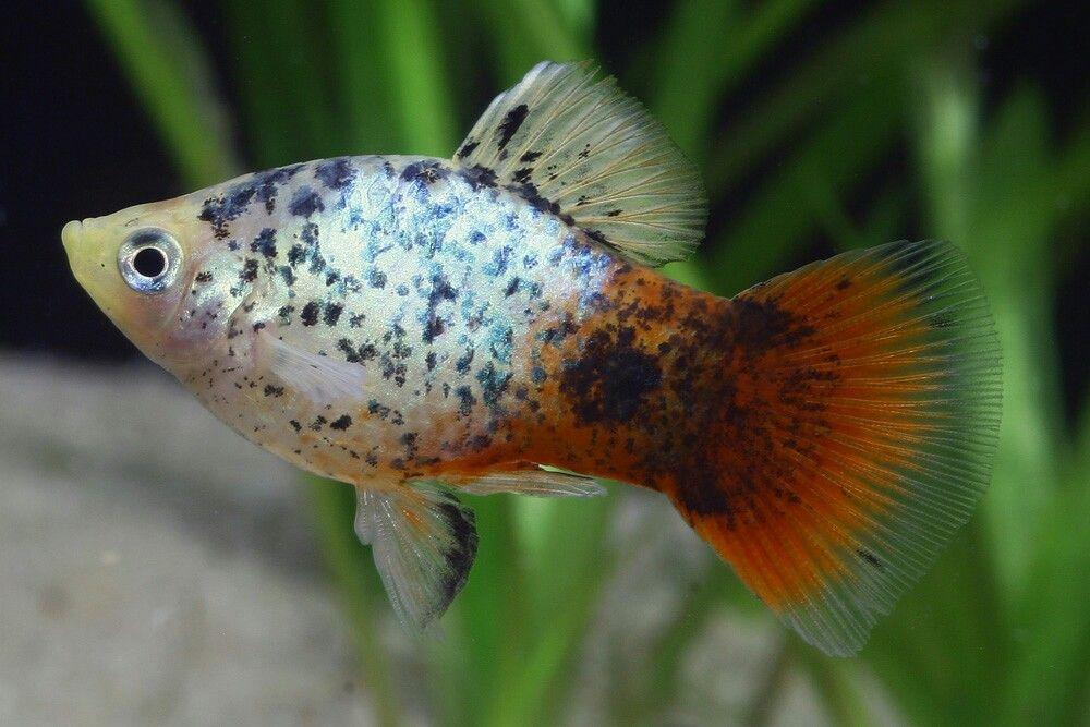 Pin By Aqualife On Platys Aquarium Fish Fresh Water Fish Tank Colorful Fish