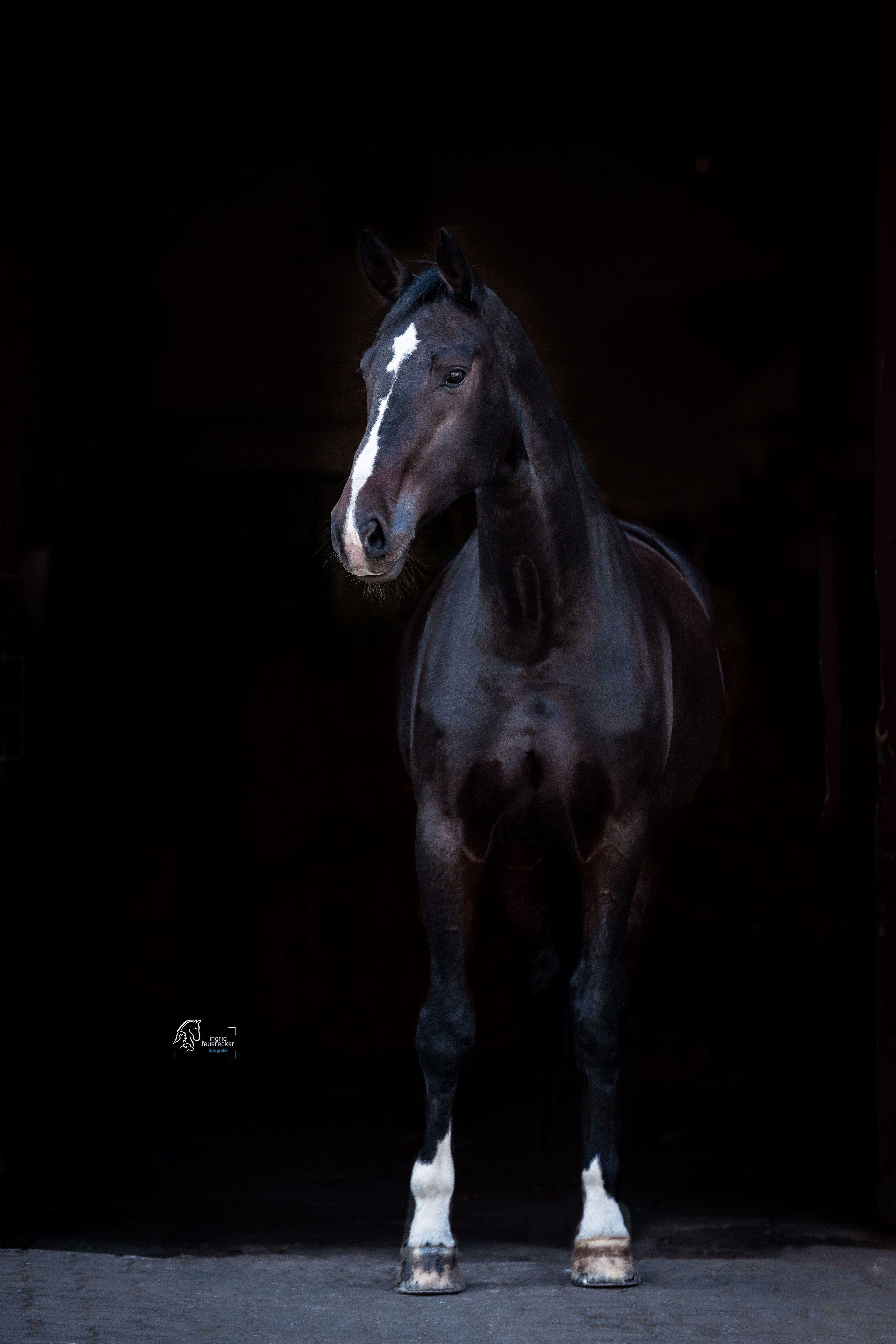 Ingrid Feuerecker Pferdefotografie   Ingrid Feuerecker Hundefotografie   Pferde vor schwarzem Hintergrund   Horse Photography   Equestrian   Equine Ph…