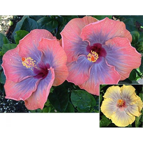 Hibiscus Voodoo Queen Hibiscus Rosa Sinensis Hybrid Changes