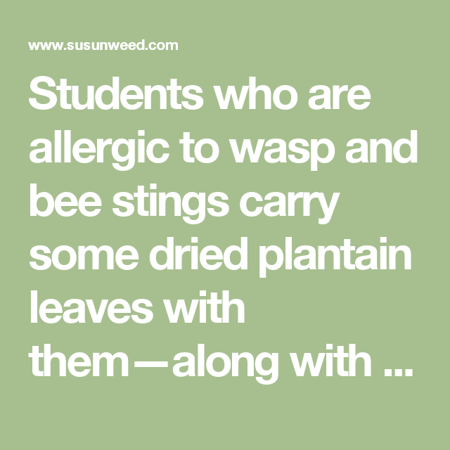 Students who are allergic to wasp and bee stings carry some dried plantain leaves with them—along with their more orthodox first-aid kit. They tell me that a spit poultice of the dried leaves usually acts quickly enough to prevent shock reactions. The ointment is not as effective in this situation.
