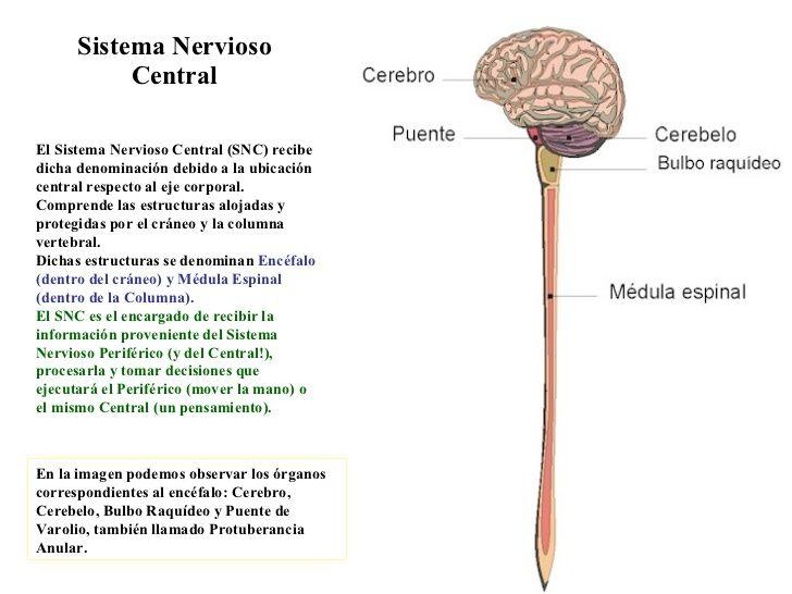 Mapa Conceptual Del Sistema Nervioso Central Y Periferico Cuadros Sinopticos Cuadro Comparativo Sistema Nervioso Central Sistema Nervioso Nervioso
