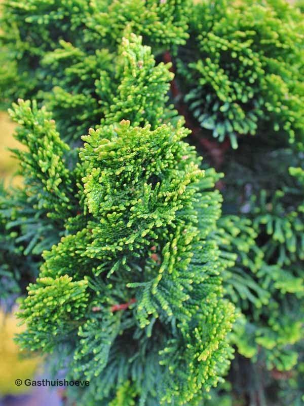 coniferen snoeien. chamaecyparis obtusa nana gracilis, schijincipres
