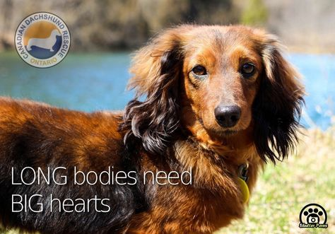 Canadian Dachshund Rescue (Ontario) is filled to the brim ...
