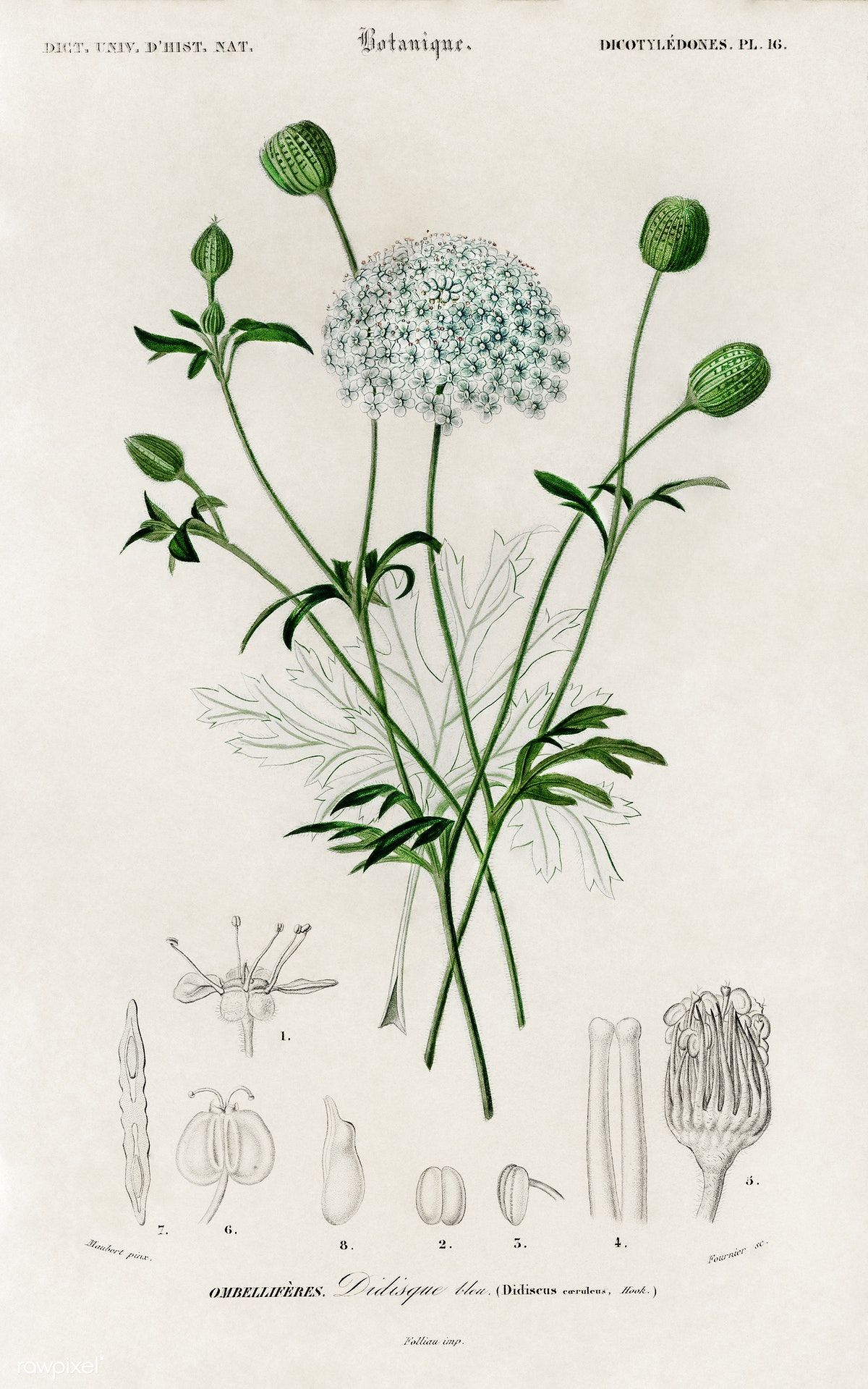 Didiscus Caeruleus Illustrated By Charles Dessalines D Orbigny 1806 1876 Digitally Enhanced From Botanical Drawings Botanical Prints Botanical Illustration