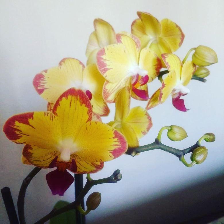 Como Les Quedo El Ojo Foto Compartida En Mi Familia Verde De Whatsapp Orchideen Orchid Orquide In 2020 Phalaenopsis Orchid Phalaenopsis Orchids