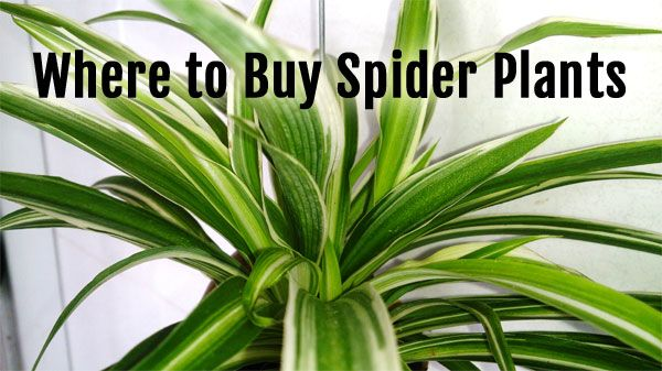 Where To Buy Spider Plants Seeds Cuttings More Spider