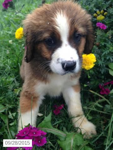 Bernese Mt Dogst Bernard Mix Puppy For Sale In Ohio Puppies