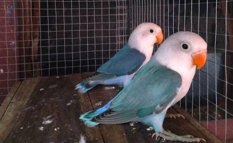 98  Gambar Burung Lovebird Spangle  Terbaru Gratis