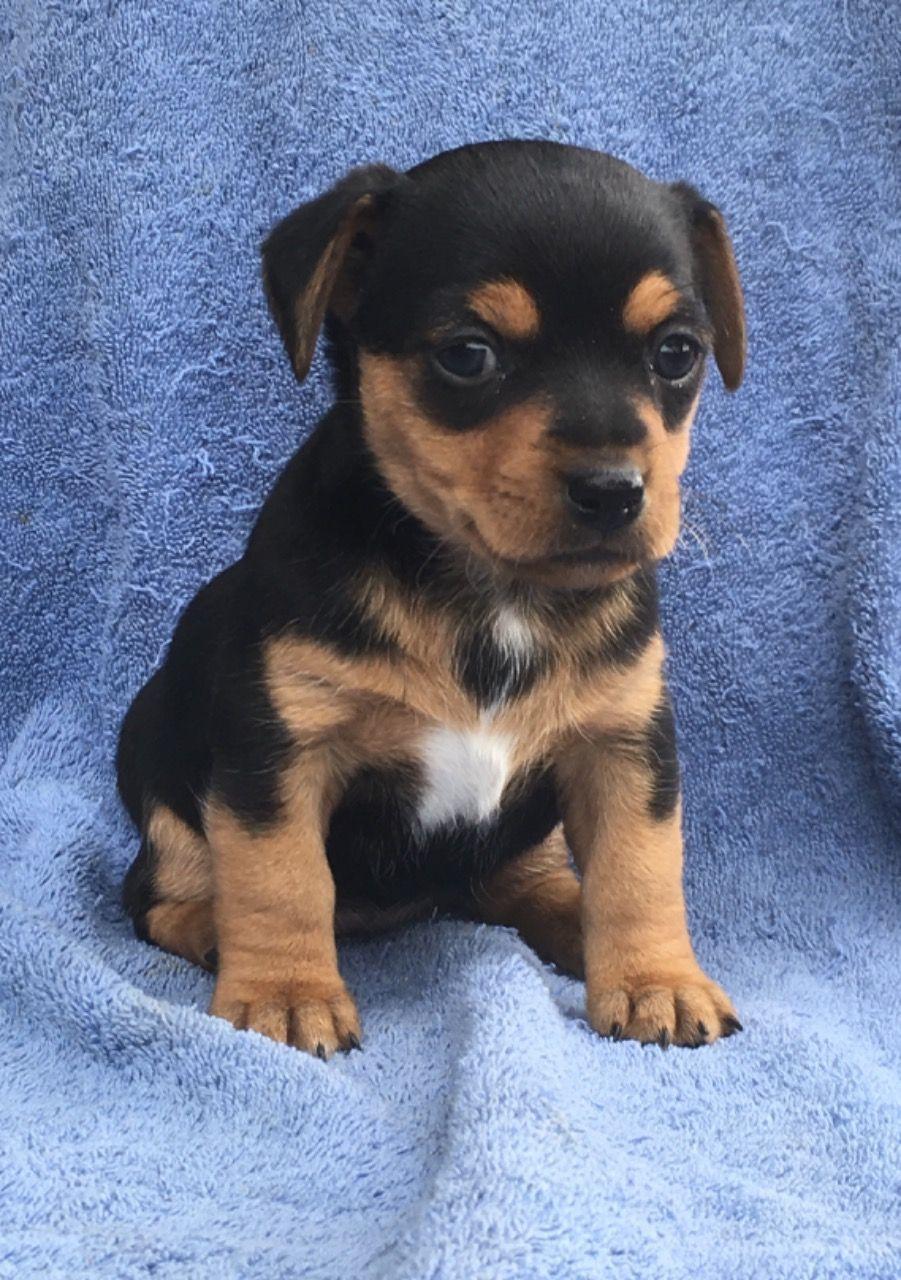 Jack Russell Puppies Jack russell puppies