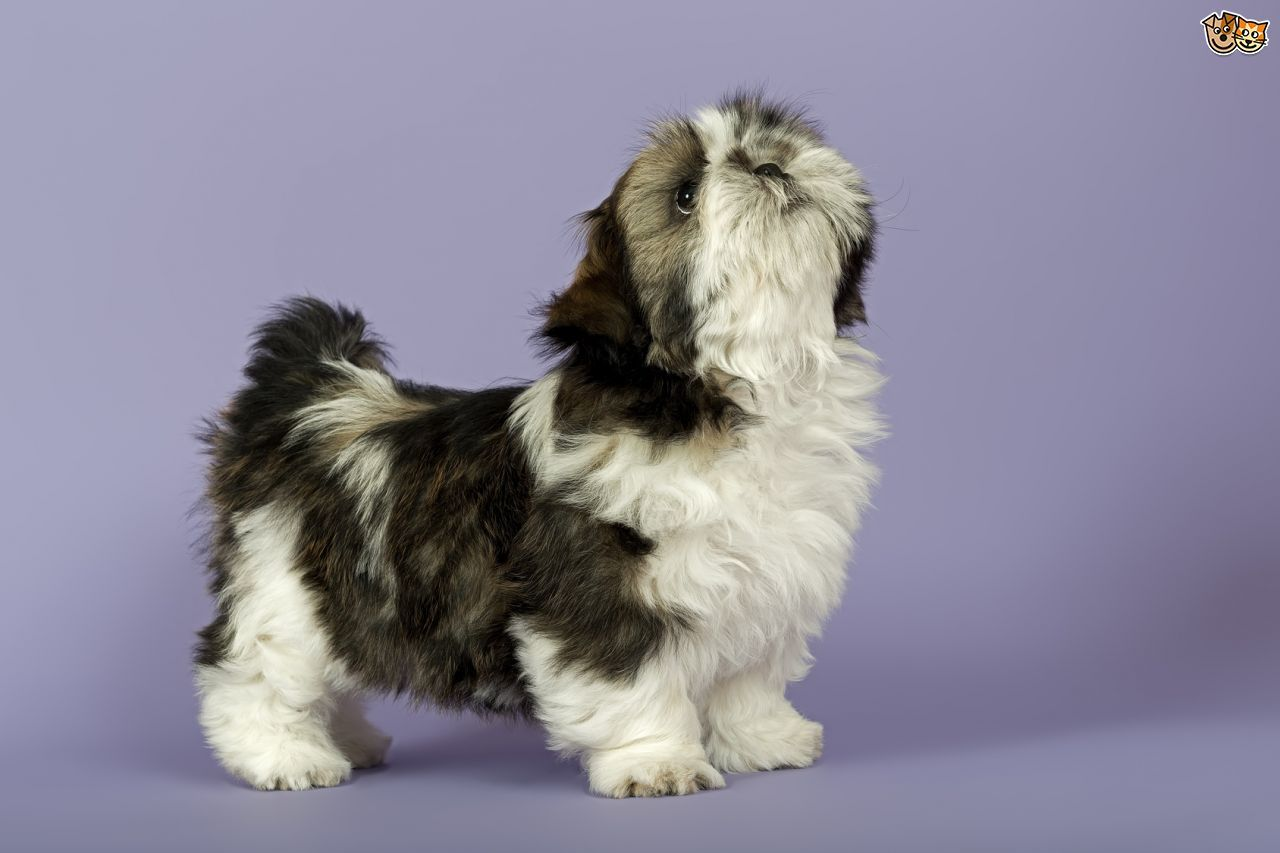 Shih Tzu Dog Breed Information Facts Photos Care Pets4homes