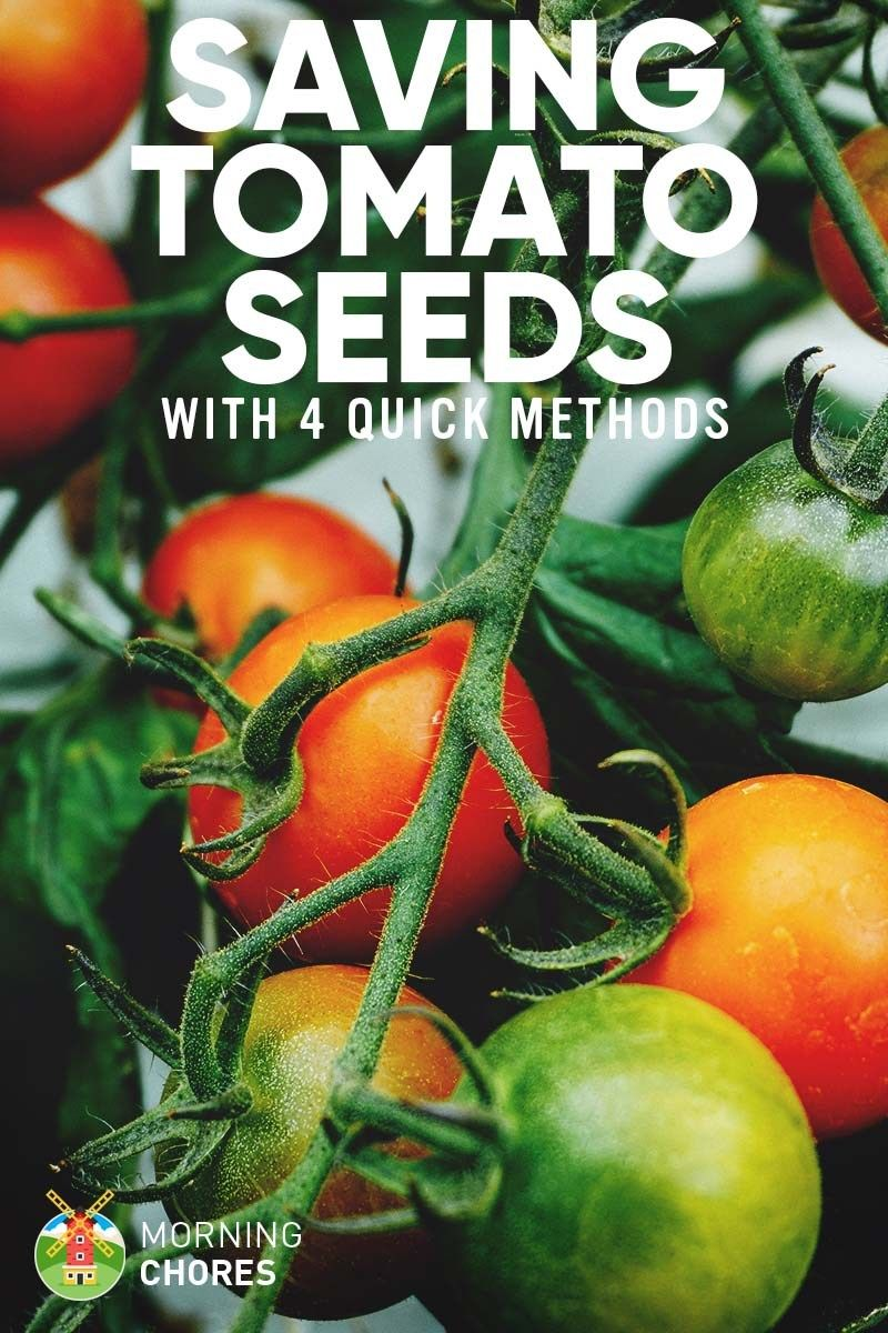 how to save tomato seeds to grow next year