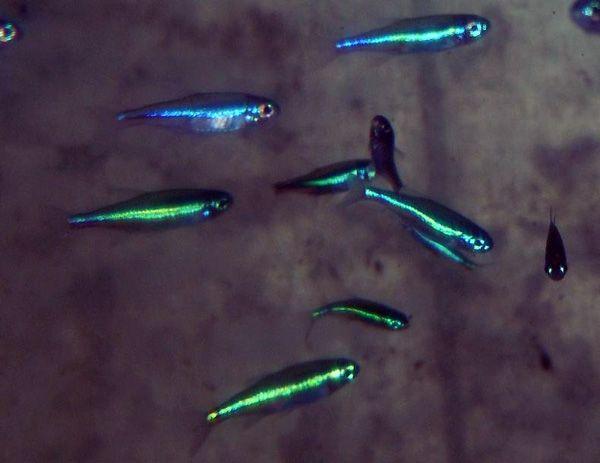 Freshwater Tropical Fish Online Tetras Aquarium Fish Tetra Fish Neon Tetra