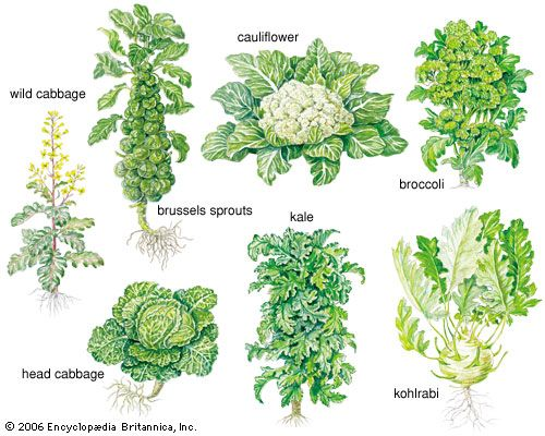 how to cook cabbage sprouts