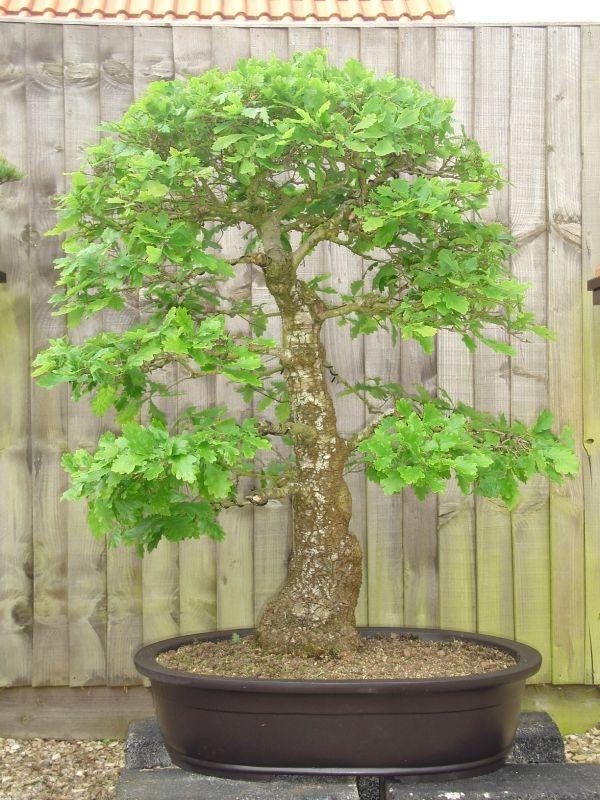 haus garten basiswissen ber den bonsai baum. Black Bedroom Furniture Sets. Home Design Ideas