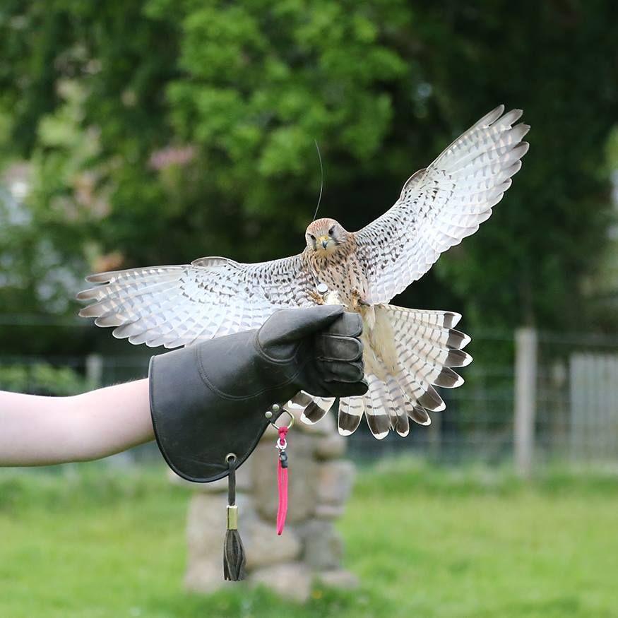 European Kestrel Female Falconry Training Falconry Birds Of Prey Eagle Hunter