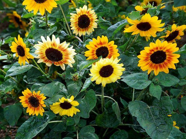 Growing Sunflowers Hgtv Gardens Growing Sunflowers Planting Sunflowers Fast Growing Flowers