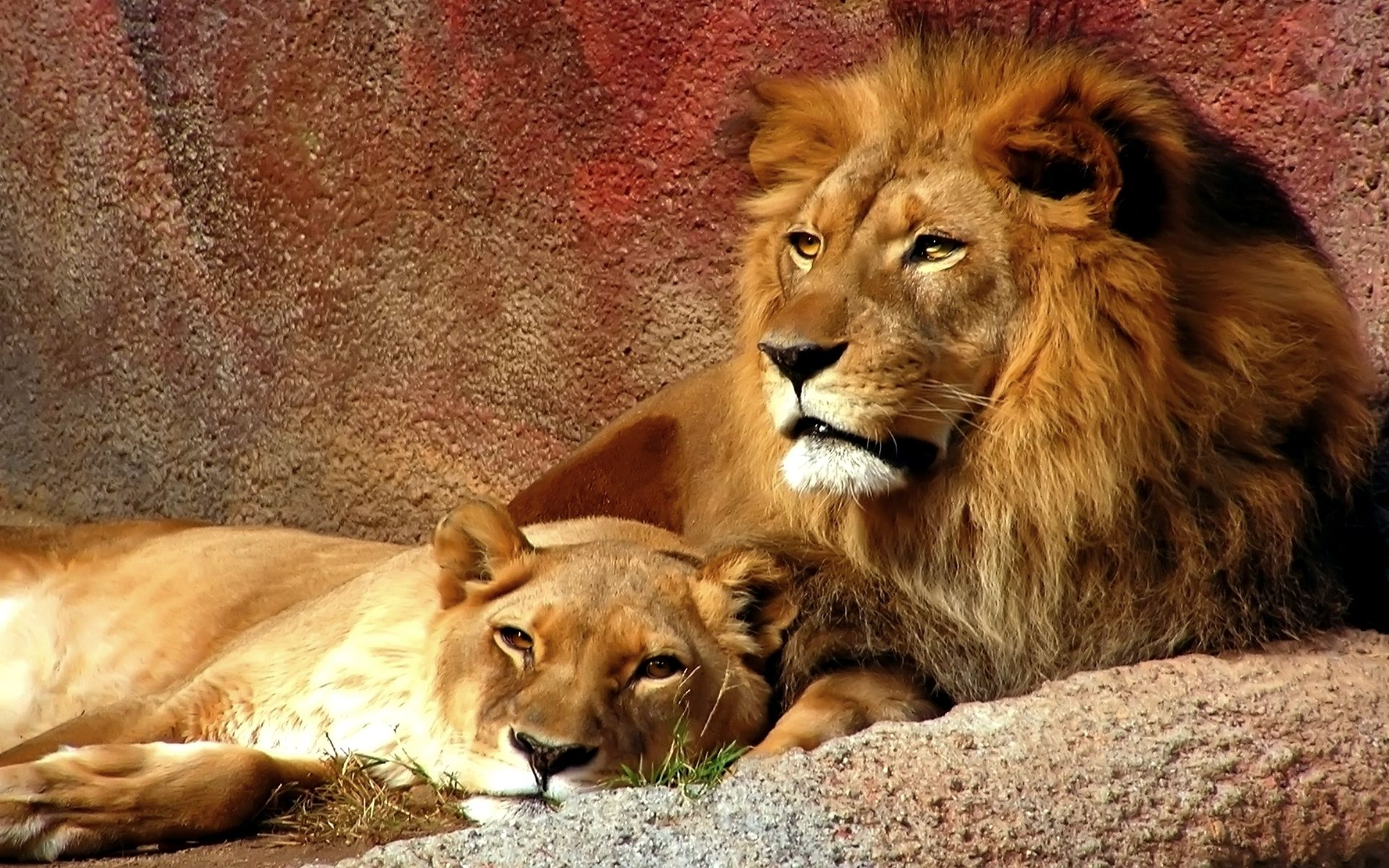 10 Different Types Of Lions With Fact And Pictures Lion Couple Lion Hd Wallpaper Animals