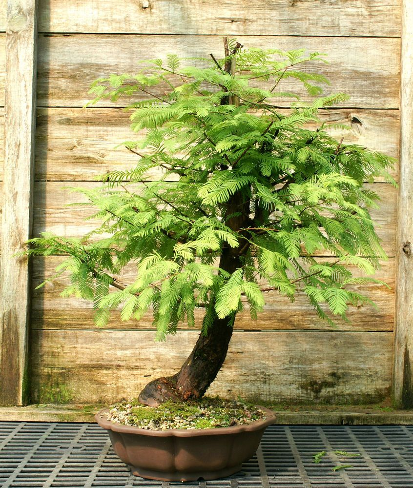 Bonsai Tree Dawn Redwood Specimen DRST 831C bonsaitree