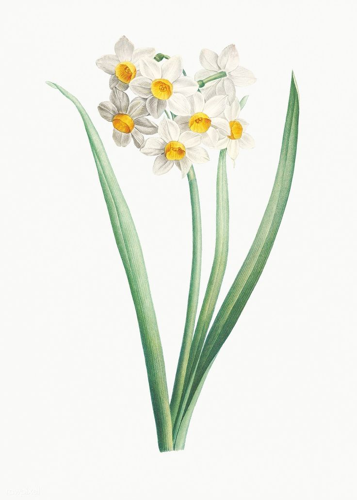 Narcissus Flower Tattoos in 2020 Narcissus flower