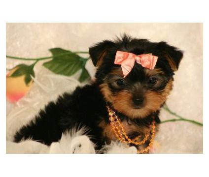 Gorgeous Yorkie Puppies availalbe in Bayside, Flushing