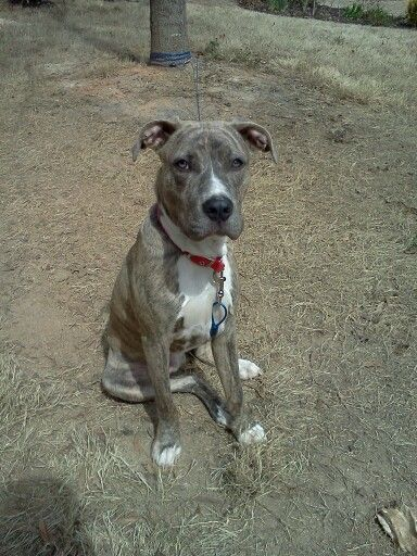Pitbull Mixed With Great Dane This Is My Babe Right Here