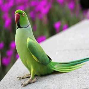 Indian Ringneck Parrot Price Bd Indian Ringneck Parrot Price Bd