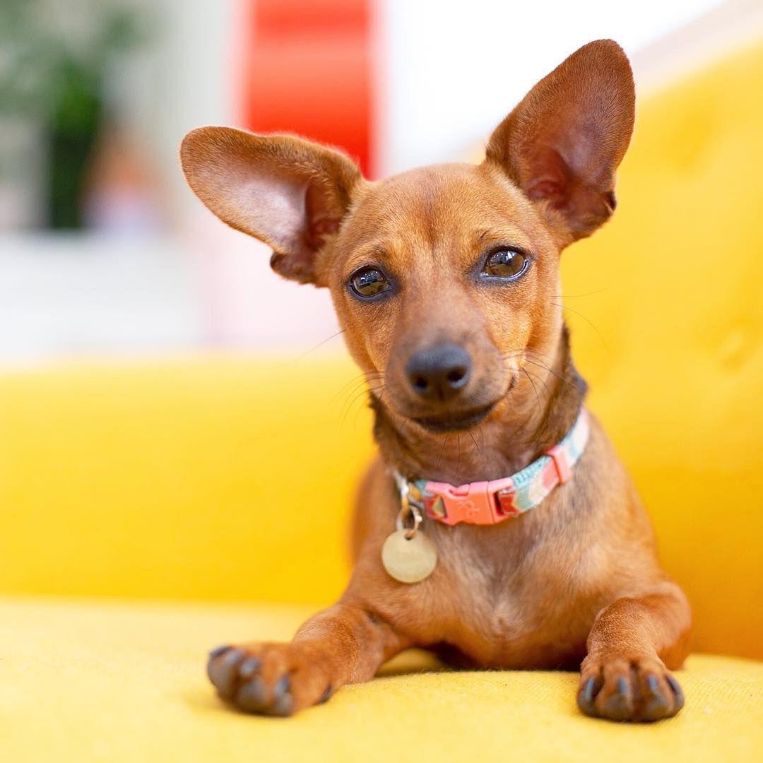 Those Ears Dachsund Chihuahua Choxie Puppy Rescue