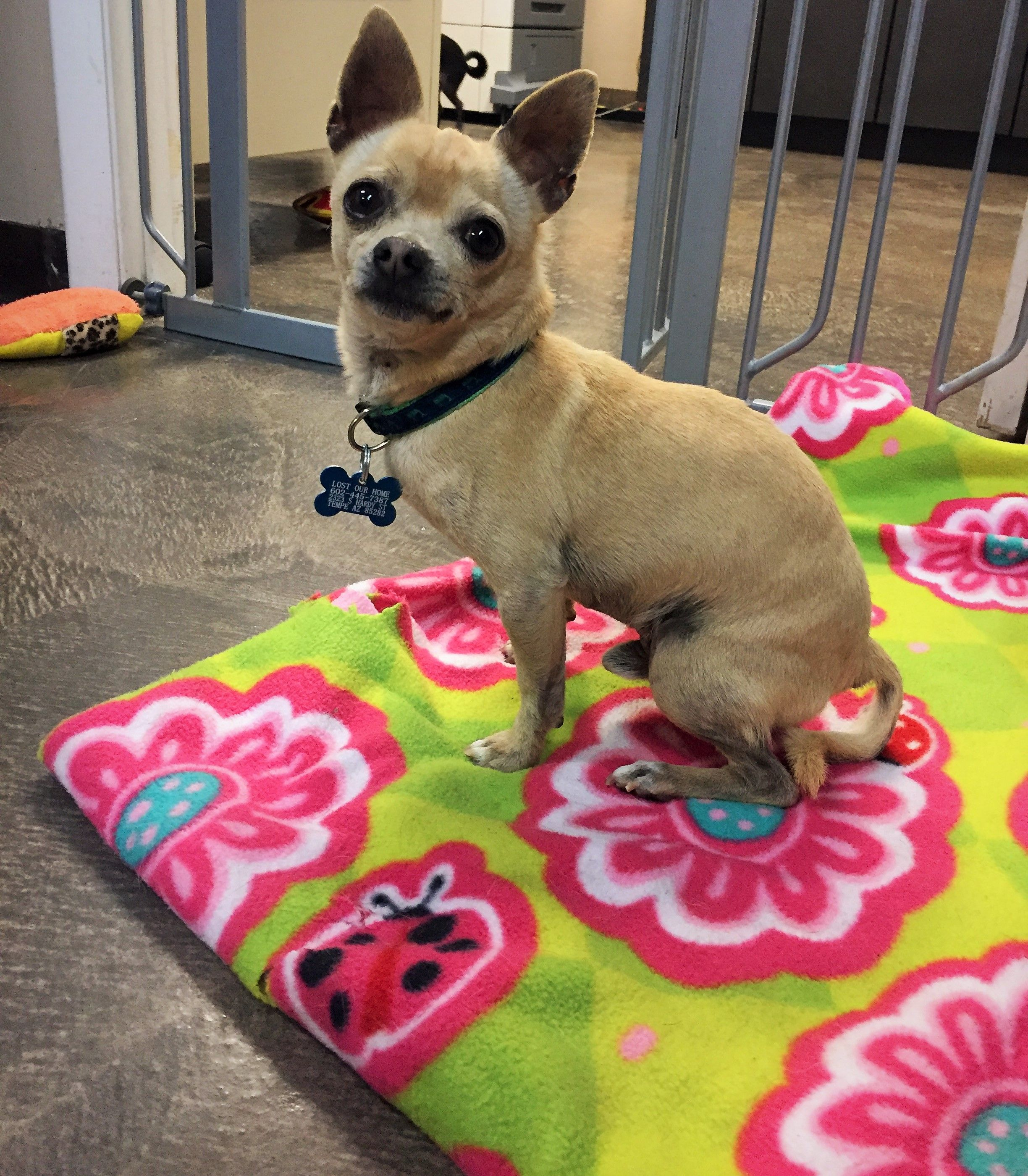 Chihuahua Dog For Adoption In Tempe Az Adn 825075 On Puppyfinder Com Gender Male Age Adult Dog Adoption Chihuahua Chihuahua Dogs