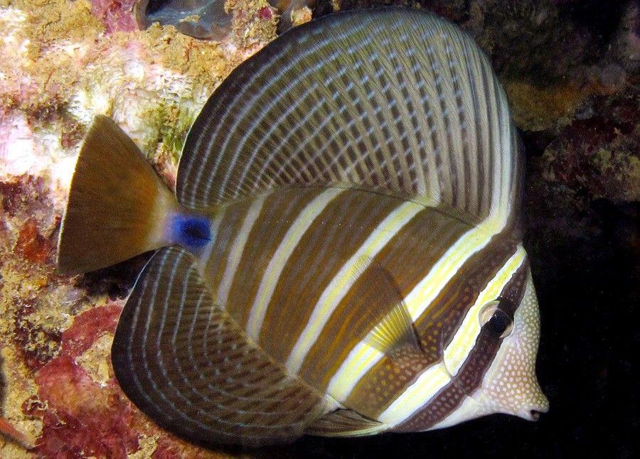 Pacific Sailfin Tang Zebrasoma Veliferum 40cm West Indian Lagoon And Seaward Reefs Exotische Vissen Vissen Natuur
